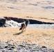 wolf on Tibetan plateau