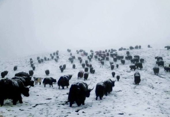 Yaks in Tibet in the winter
